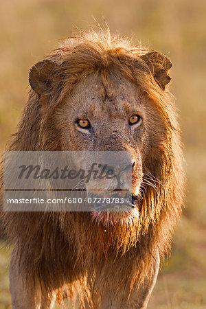 Portrait of Male Lion (Panthera leo) after Feeding, Masai Mara National Reserve, Kenya