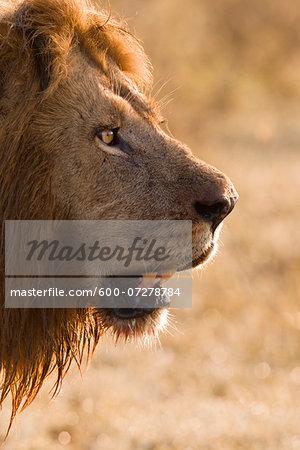 Portrait of Male Lion (Panthera leo), Masai Mara National Reserve, Kenya
