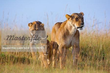 African Lions (Panthera leo) in Grassland, Masai Mara National Reserve, Kenya