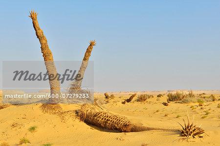 Desert Landscape with Dried Date Palms, Matruh Governorate, Libyan Desert, Sahara Desert, Egypt, Africa