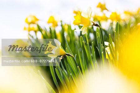Close-up of Yellow Daffodils in Field, Beatenberg, Bernese Oberland, Canton of Bern, Switzerland