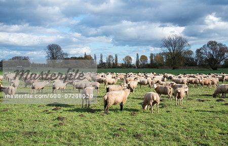 Scenic view of sheep grazing in pasture, Edenkoben, Rhineland-Palatinate, Germany