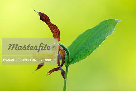 Lady´s Slipper Orchid (Cypripedium calceolus), Bavaria, Germany