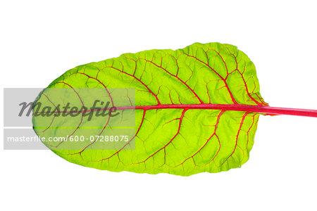 Swiss Chard (Beta vulgaris) Leaf against White Background, Studio Shot