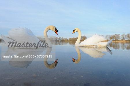 Mute Swans (Cygnus olor) on Lake, Hesse, Germany