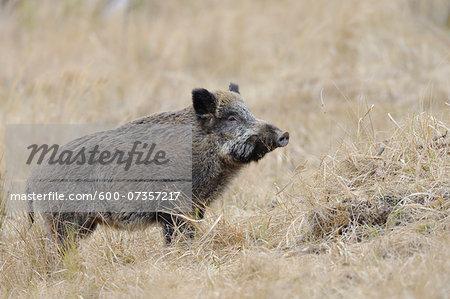 Wild Boar (Sus scrofa), Spessart, Bavaria, Germany