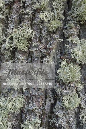 Close-up of Lichen on Oak Tree Bark, Hesse, Germany