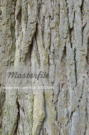 Close-up of Common Oak Tree Bark, Hesse, Germany
