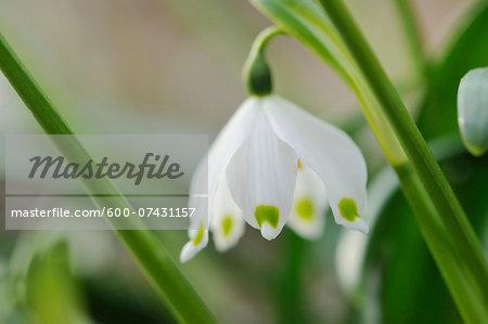 Close-up of Spring Snowflake (Leucojum Vernum) Blossom in Forest in Spring, Upper Palatinate, Bavaria, Germany