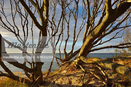 Beech Tree in Coastal Forest, West Beach, Autumn, Prerow, Darss, Fischland-Darss-Zingst, Western Pomerania, Germany