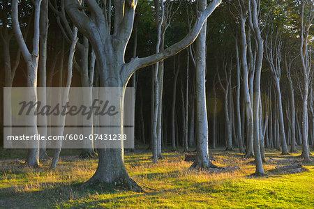 Coastal Beech Forest, Nienhagen, Bad Doberan, Baltic Sea, Western Pomerania, Germany