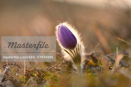 Bloom of Pulsatilla (Pulsatilla vulgaris) in Grassland in Early Spring, Upper Palatinate, Bavaria, Germany