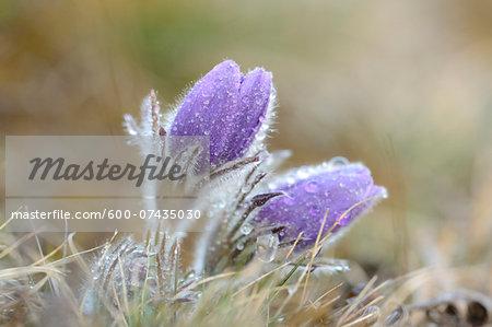 Pulsatilla (Pulsatilla vulgaris) Blooms in Grassland on Rainy Evening in Early Spring, Upper Palatinate, Bavaria, Germany