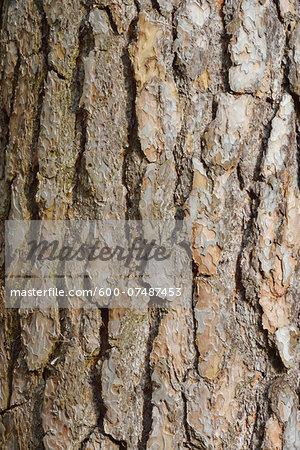 Close-up of pine tree bark, Spessart, Hesse, Germany, Europe