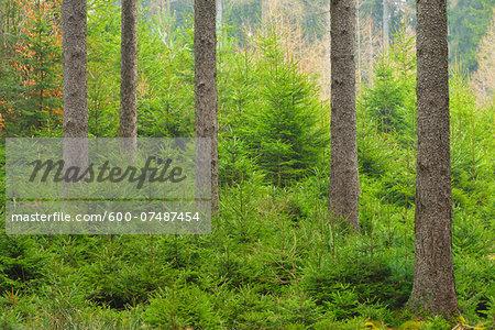 Spruce forest, natural regeneration, Spessart, Hesse, Germany, Europe