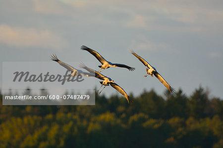 Common Cranes (Grus grus) in Flight, Barth, Vorpommern-Rugen, Mecklenburg-Vorpommern, Germany