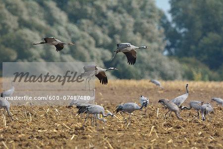 Common Cranes (Grus grus) in Field, Barth, Vorpommern-Rugen, Mecklenburg-Vorpommern, Germany