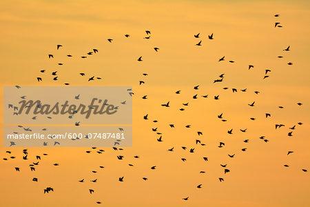 Common Starling (Sturnus vulgaris) Swarm in Flight at Sunset, Zingst, Barther Bodden, Darss, Fischland-Darss-Zingst, Mecklenburg-Vorpommern, Germany