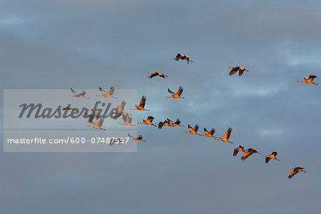 Common Cranes (Grus grus) Flying in Formation at Sunrise, Zingst, Barther Bodden, Darss, Fischland-Darss-Zingst, Mecklenburg-Vorpommern, Germany