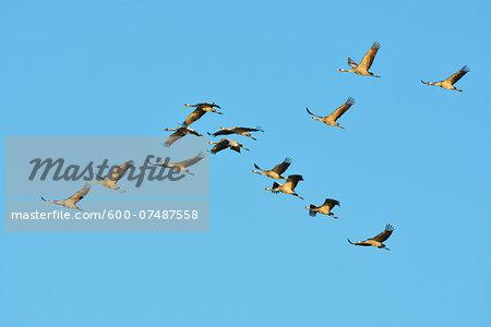 Common Cranes (Grus grus) Flying in Formation, Zingst, Barther Bodden, Darss, Fischland-Darss-Zingst, Mecklenburg-Vorpommern, Germany