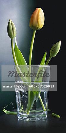 Close-u of tulips in a water glass, studio shot on black background