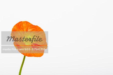 Iceland Poppy (Papaver nudicaule) on White Background