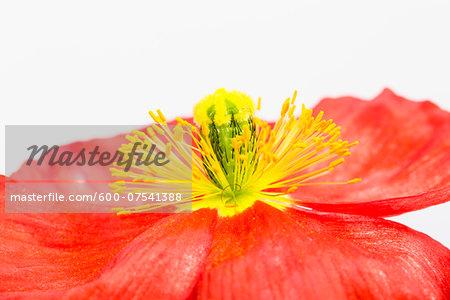 Close-up of Iceland Poppy (Papaver nudicaule) on White Background
