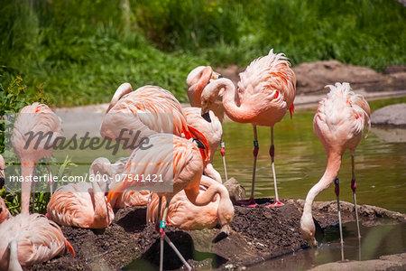 Flock of Chilean Flamingos (Phoenicopterus chilensis), Tracy Aviary, Salt Lake City, Utah, USA
