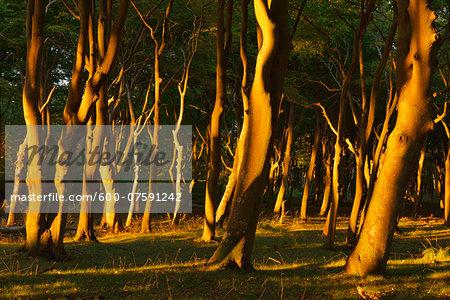 Coastal Beech Forest at Sunset, West Beach, Prerow, Darss, Fischland-Darss-Zingst, Western Pomerania, Germany