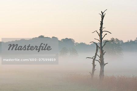 Dead tree in morning mist, Nature Reserve Moenchbruch, Moerfelden-Walldorf, Hesse, Germany, Europe