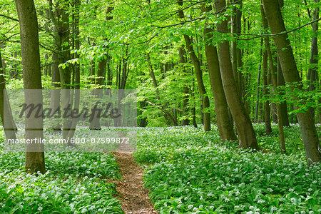 European Beech Forest (Fagus sylvatica) with Ramson (Allium ursinum), Hainich National Park, Thuringia, Germany, Europe