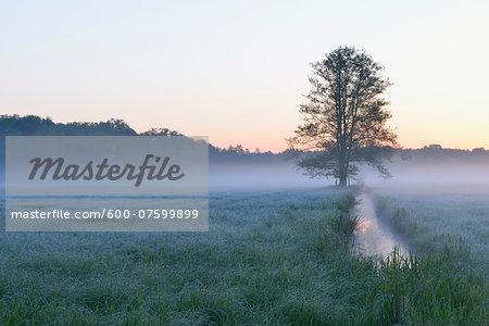 Tree on misty meadow, Nature Reserve Moenchbruch, Moerfelden-Walldorf, Hesse, Germany, Europe