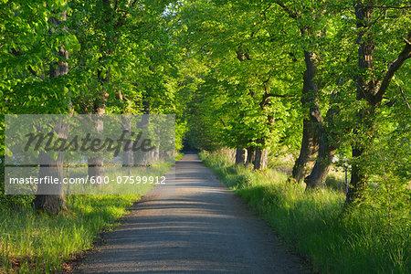 Chestnut tree-lined avenue, Nature Reserve Moenchbruch, Moerfelden-Walldorf, Hesse, Germany, Europe