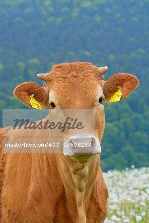 Close-up Portrait of Cow, Miltenberg, Bavaria, Germany, Europe