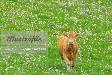 Cow walking in meadow, Miltenberg, Bavaria, Germany, Europe