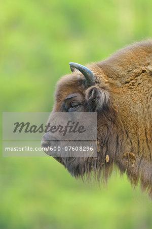 Close-up Portrait of European Bison (Bison bonasus), Hesse, Germany, Europe