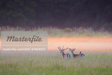 Fallow Deers (Cervus dama) in field in Summer, Hesse, Germany, Europe