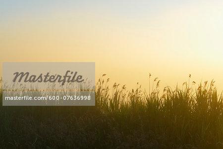 Reeds on Misty Morning, Fischland-Darss-Zingst, Mecklenburg-Western Pomerania, Germany