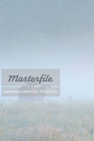 Cows in Field on Misty Morning, Fischland-Darss-Zingst, Mecklenburg-Western Pomerania, Germany