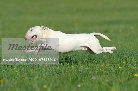 English Bull Terrier Running in Meadow, Bavaria, Germany