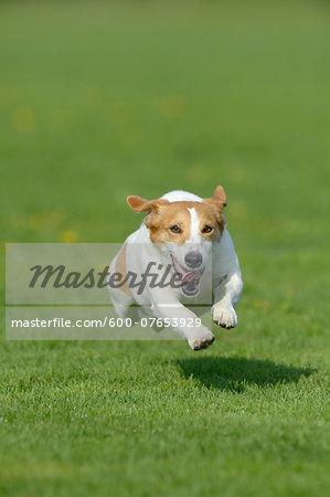 Jack Russel Terrier Running in Meadow, Bavaria, Germany
