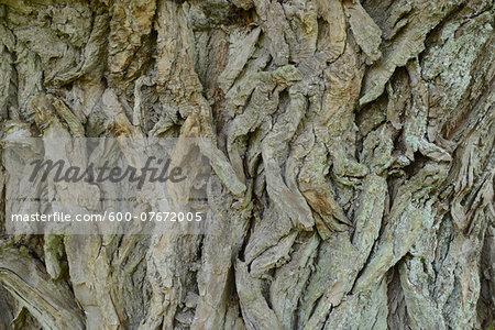 Close-up of Crack Willow (Salix fragilis) Bark of Old Tree in Spring, Bavaria, Germany
