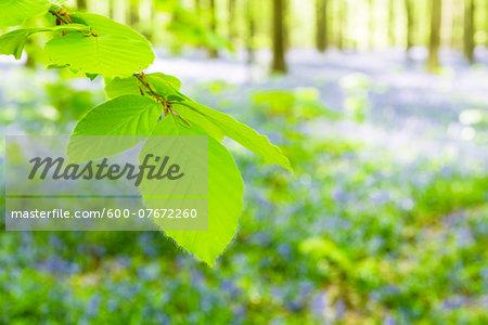 European beech forest (Fagus sylvatica) and bluebells (Hyacinthoides non-scripta) in the spring, Hallerbos, Belgium