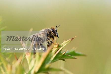 Close-up of European Honeybee (Apis mellifera) in Summer, Upper Palatinate, Bavaria, Germany