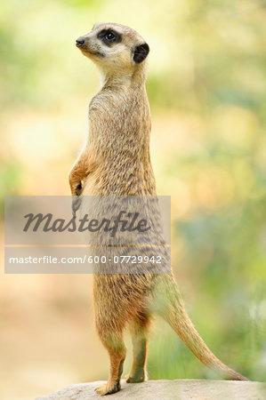 Close-up of Meerkat (Suricata suricatta) Standing on Hind Legs in Summer, Bavaria, Germany