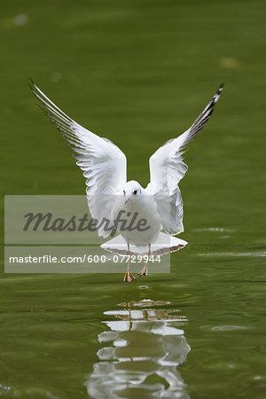 Close-up of Black-headed Gull (Chroicocephalus ridibundus) Landing on Lake in Summer, Bavaria, Germany