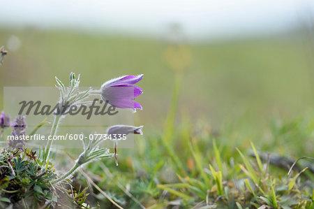 Close-up of a pasque flower (Pulsatilla vulgaris) blossom in autumn, Upper Palatinate, Bavaria, Germany