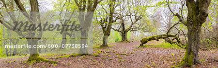 Old European Beech Trees (Fagus sylvatica) in Early Spring in Forest, Kellerwald-Edersee National Park, Hesse, Germany