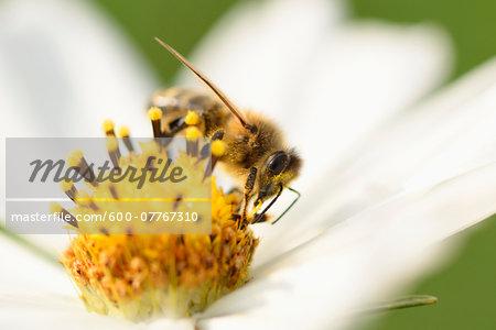 Close-up of European Honey Bee (Apis mellifera) on Garden Cosmos (Cosmos bipinnatus) Blossom, Upper Palatinate, Bavaria, Germany