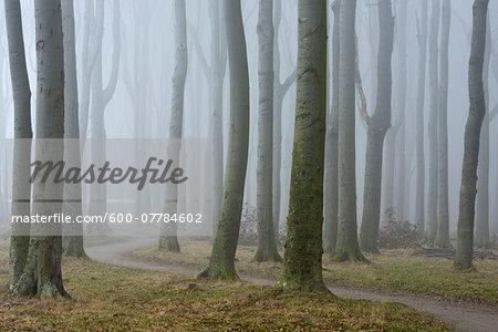 Trees and pathway with fog, Ghost Forest (Gespensterwald), Nienhagen, Westren Pomerania, Mecklenburg-Vorpommern, Germany